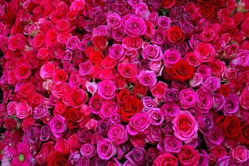 Die Rose als Beautyelixier
