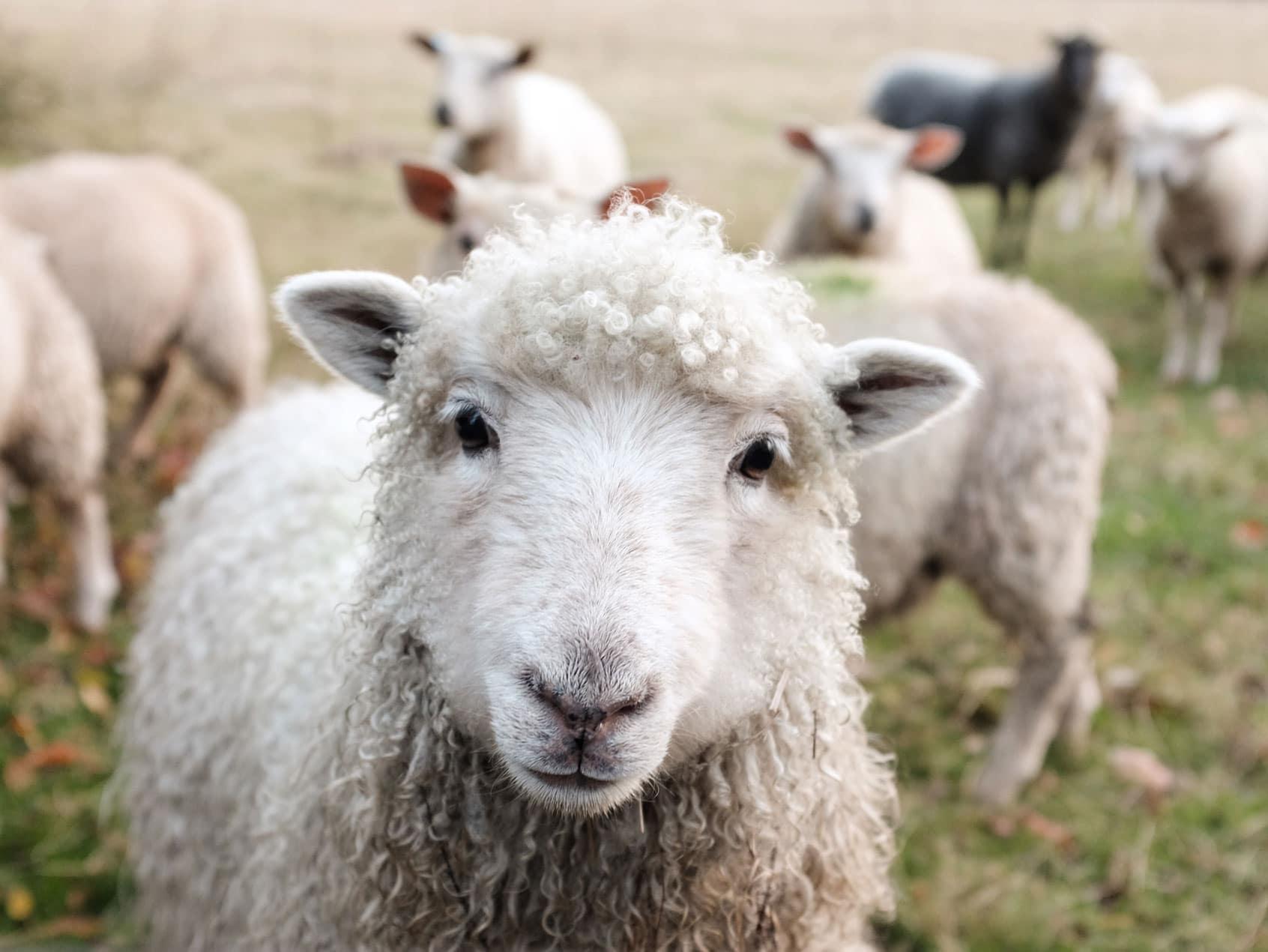 Wolle oder Baumwolle –Wie nachhaltig ist Veganismus?