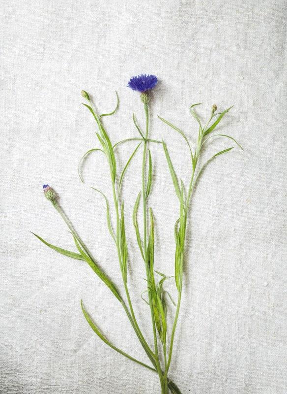 Die Kornblume eignet sich aufgrund ihrer schönen Farbe besonders gut als Topping für Suppen und Salate! Photocredit: JUNI/Julia Schmidt