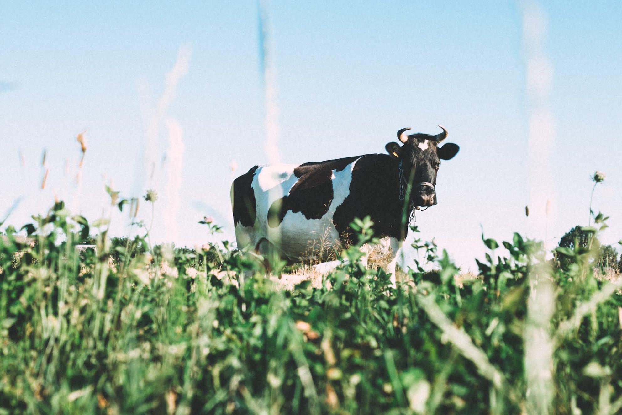 Ist Pflanzenmilch wirklich umweltfreundlicher als Kuhmilch?