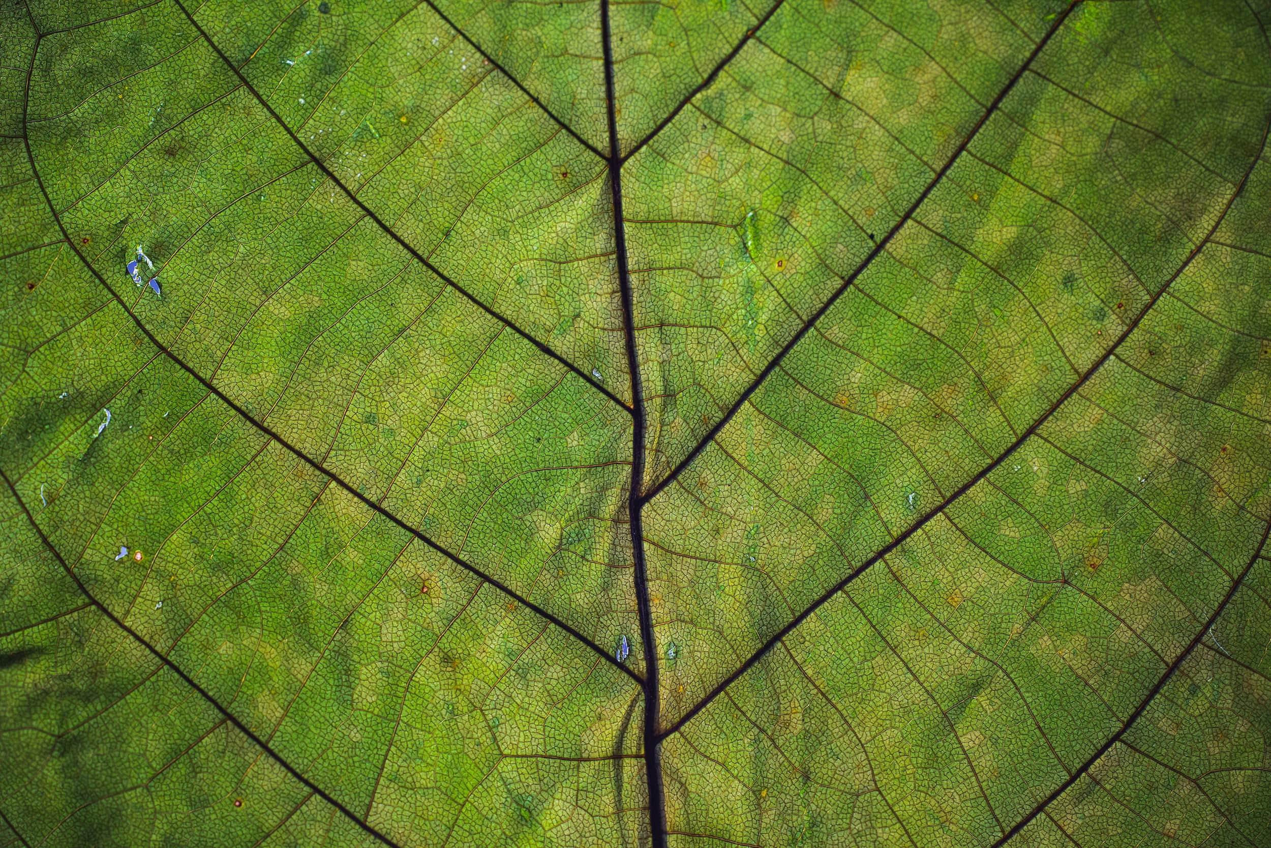 Chlorophyll: Grünes Anti-Aging von innen