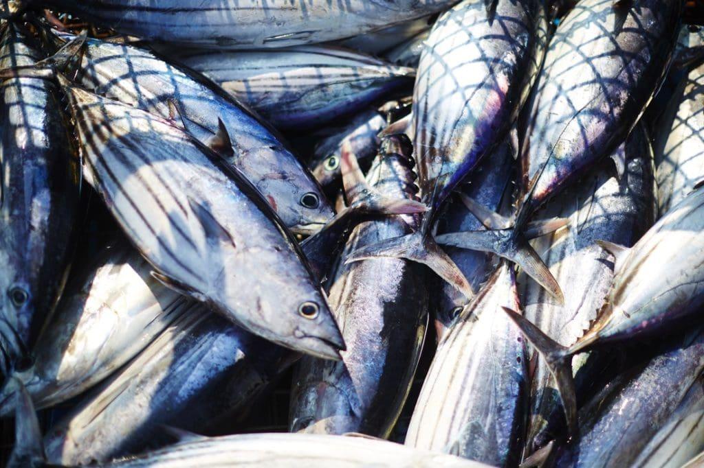 Nachhaltiger Fisch Fang: Thunfisch